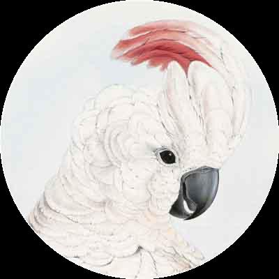 Kakadu-Icon